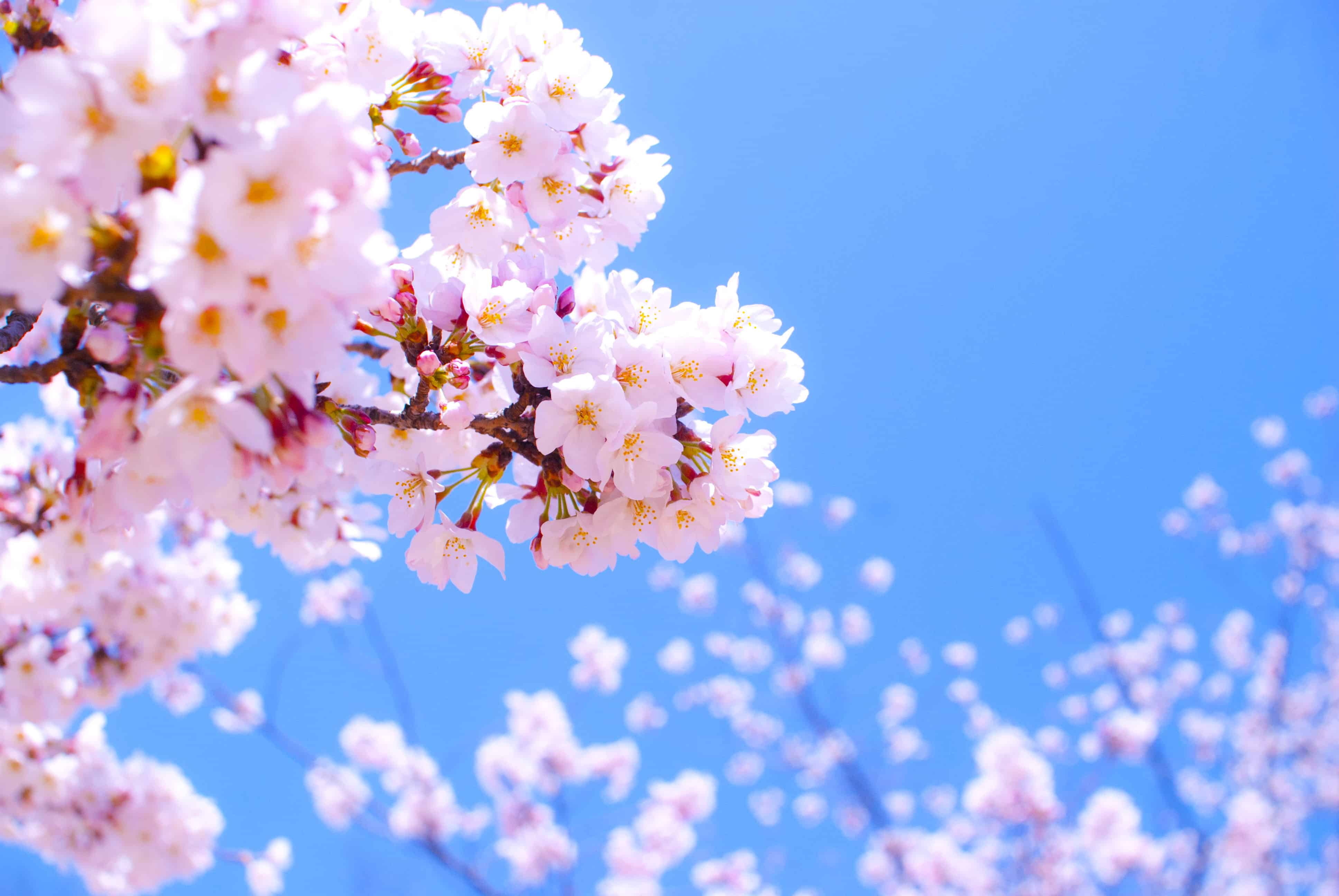 Cherry Blossom / Sakura