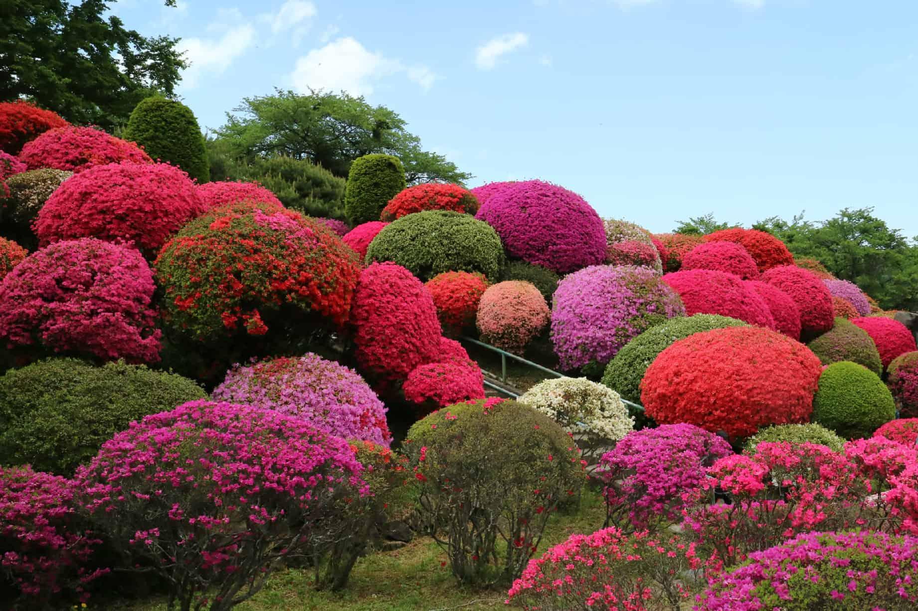 Tsurumine Park Azalea Festival