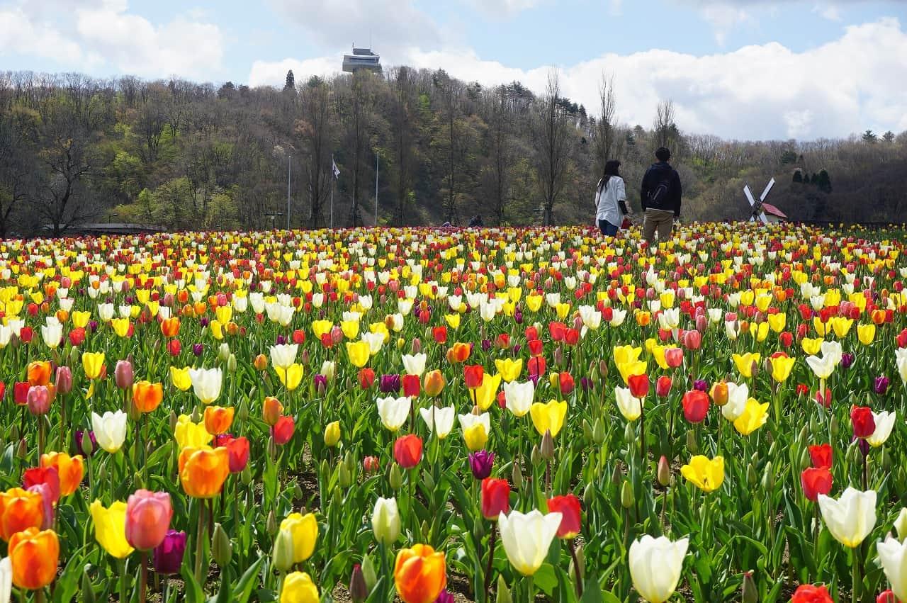 Tulip Festival niigata
