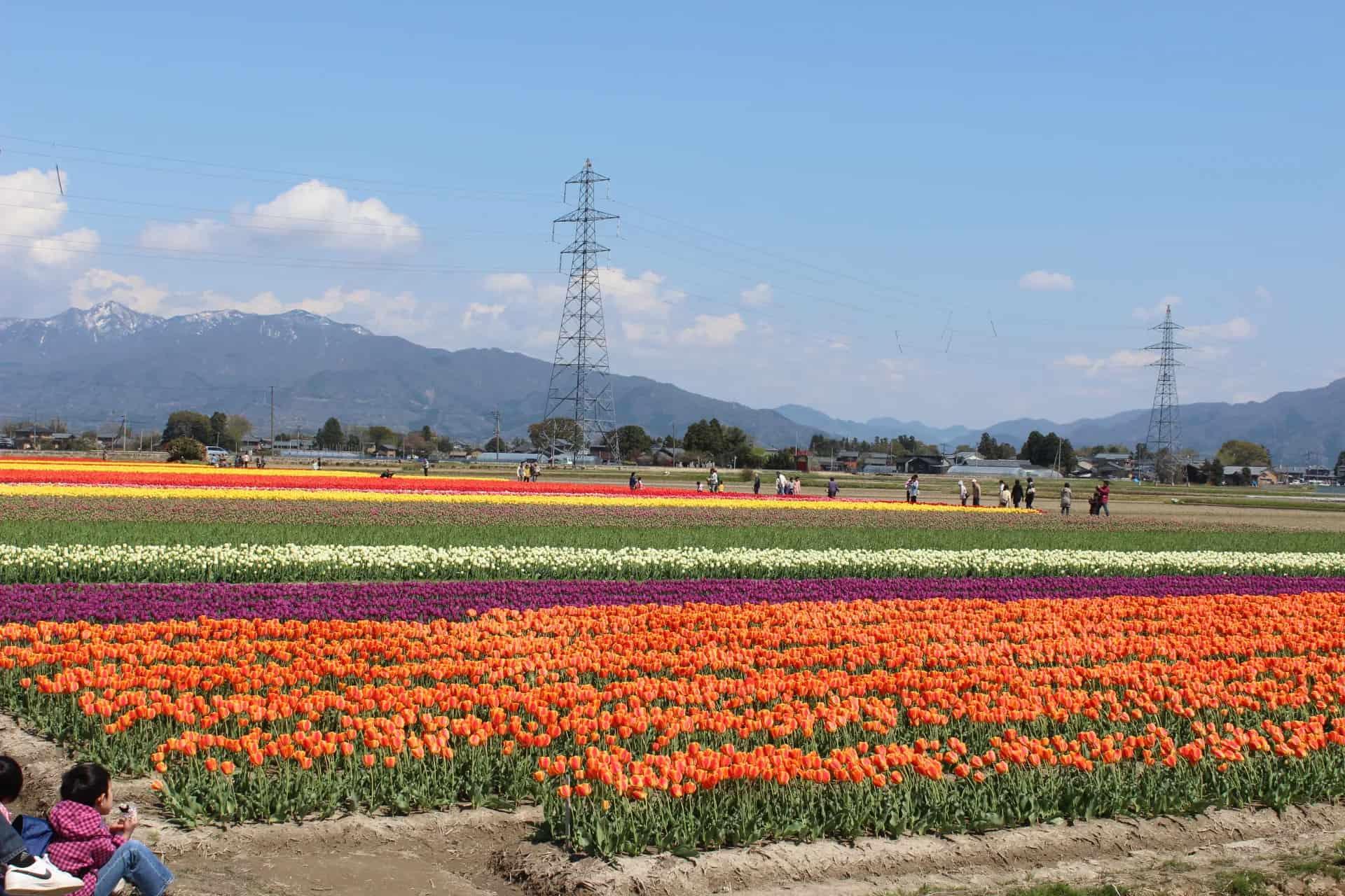 Gosen City Tulip Festival