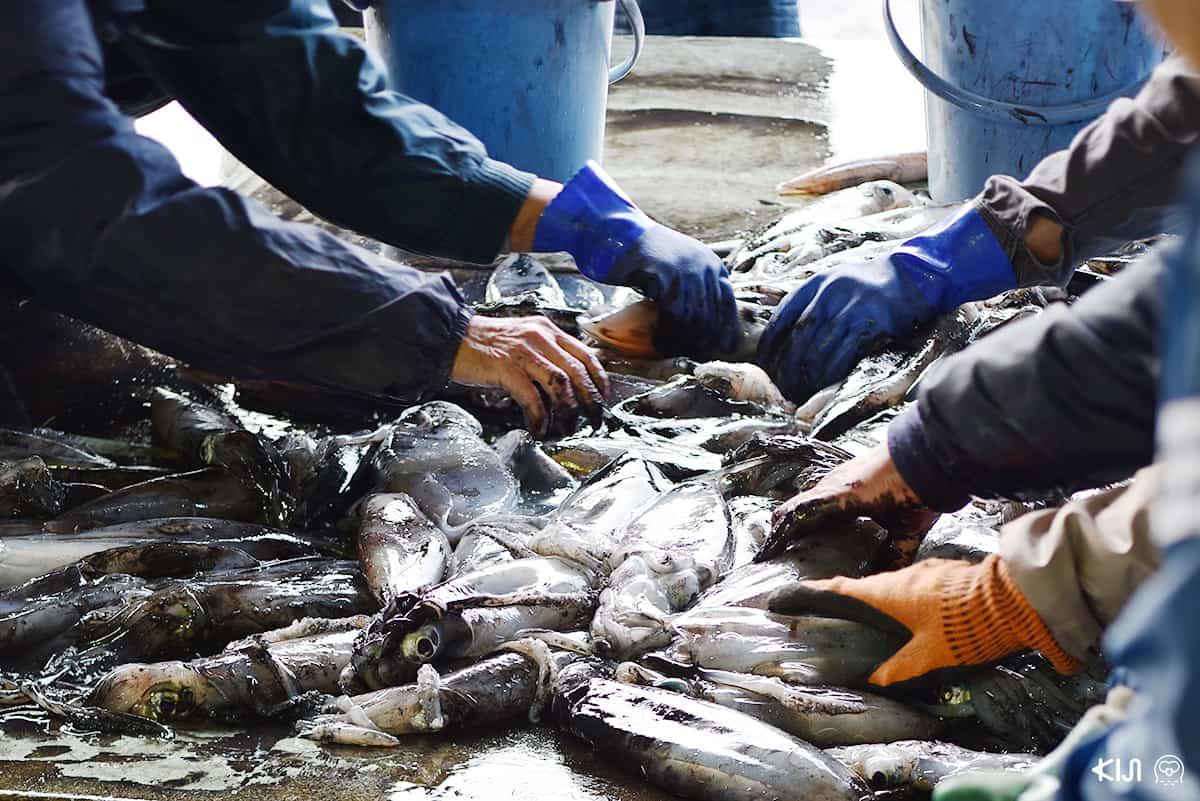 ปลาที่ชาวประมงที่หมู่บ้าน อิเนะ จับได้