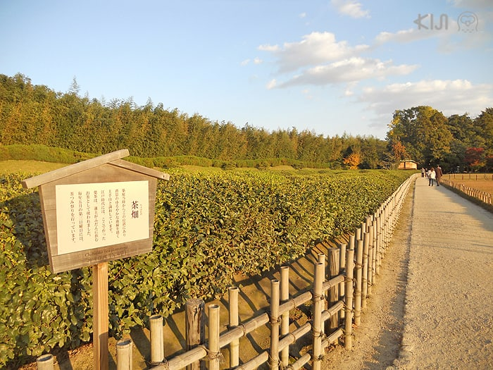โซนไร่ชาภายในสวนโครากุเอ็ง (Kōraku-en)