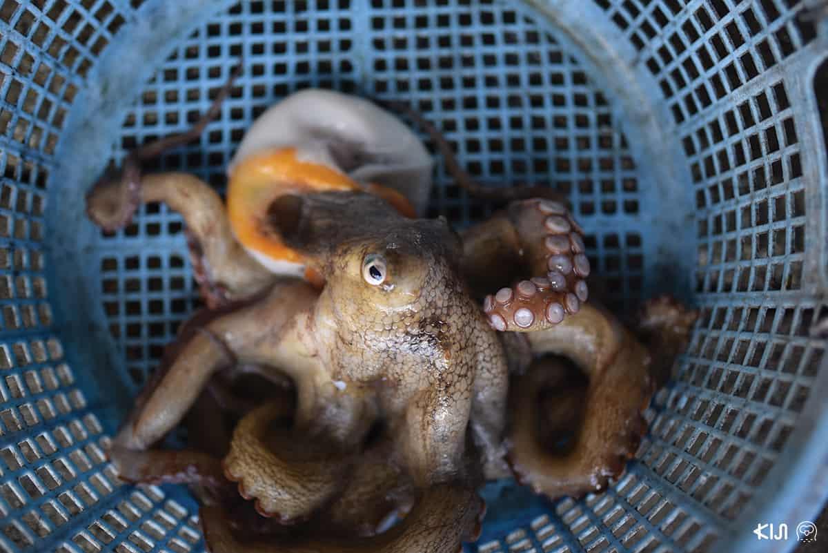 ปลาหมึกยักษ์ที่ชิโมะซุอิ (Shimotsui)