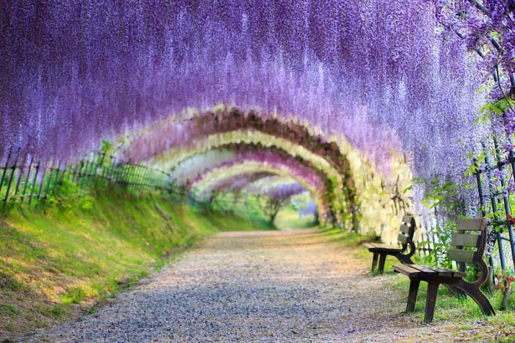 อุโมงค์วิสทีเรีย (Kawachi Fuji Garden)เมืองคิตะคิวชู (Kitakyushu) จ.ฟุกุโอกะ