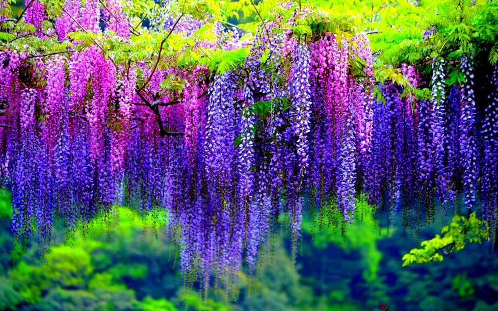 คาวาจิ ฟูจิ การ์เด้น(Kawachi Fuji Garden)