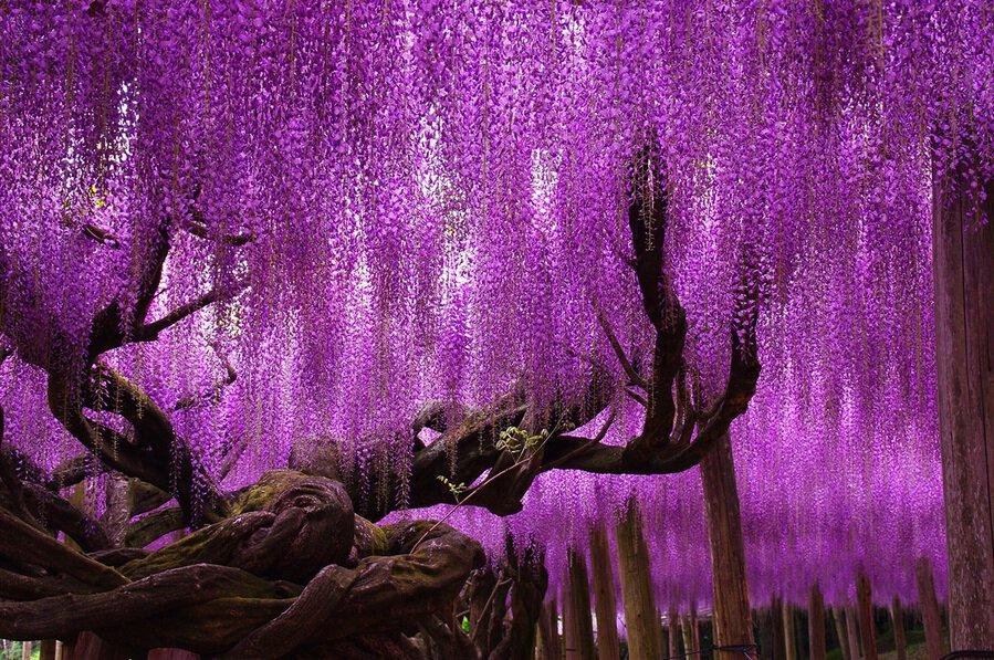 ดอกวิสทีเรีย(Wisteria) หรือที่ชาวญี่ปุ่นเรียกกันว่าดอกฟูจิ