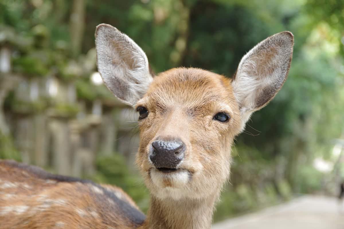 ให้อาหารกวาง ที่ Nara Park เพลิดเพลินไปกับเหล่ากวางนับร้อย