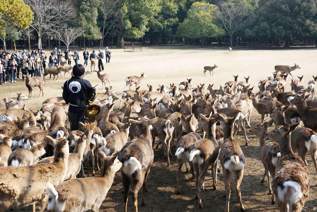 กิจกรรมชมสวน ให้อาหารกวาง ที่ Nara Park