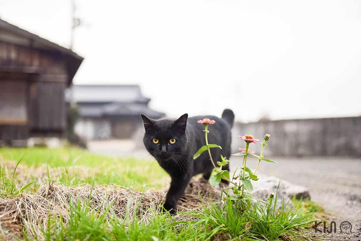 แมวเหมียวขนสีดำ บนเกาะเทชิมะ (Teshima Island)