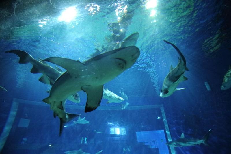 Aqua World Oarai ปลาฉลามแหวกว่ายกันเป็นฝูงใหญ่ในตู้ฉลามที่ใหญ่ที่สุดในญี่ปุ่น