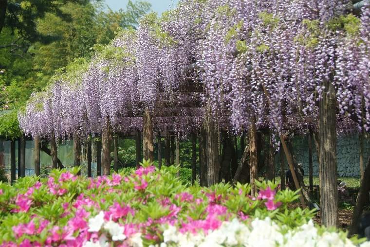 พวงดอกวิสทีเรีย (ฟูจิ) สีม่วงอ่อนในสวนสาธารณะโอดาวาระโจชิ