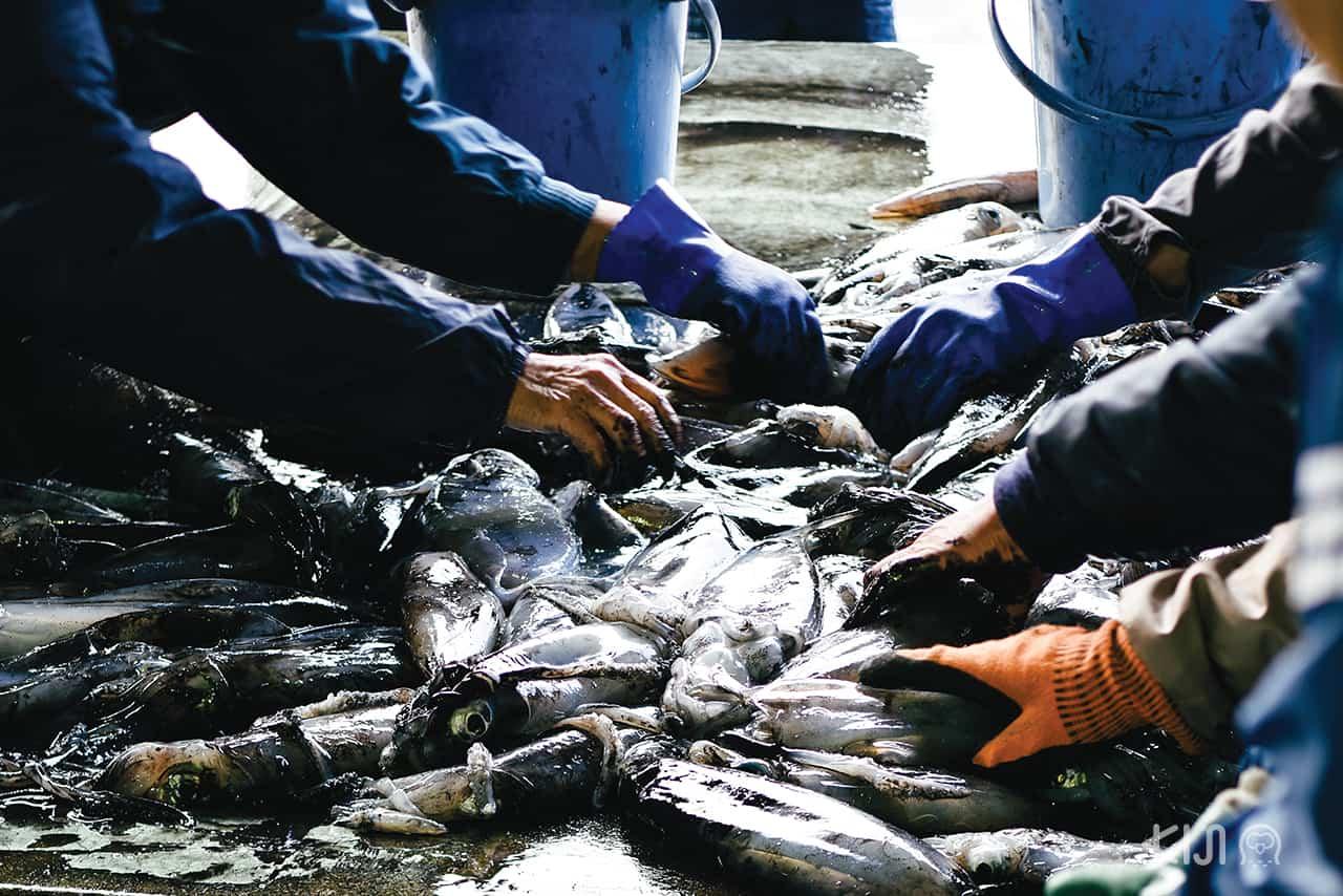 พนักงานบริษัทประมงที่หมู่บ้านอิเนะ กำลังแยกปลาที่จับมาได้