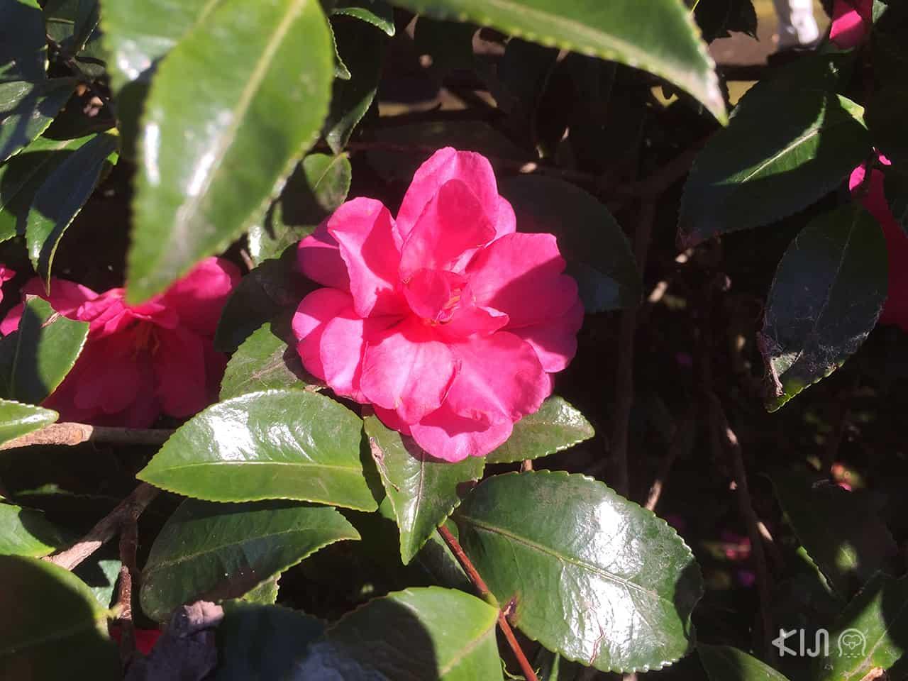 ดอกสึบากิ (Tsubaki) ที่บานในฤดูใบไม้ร่วงบนเกาะเอโนชิมะ