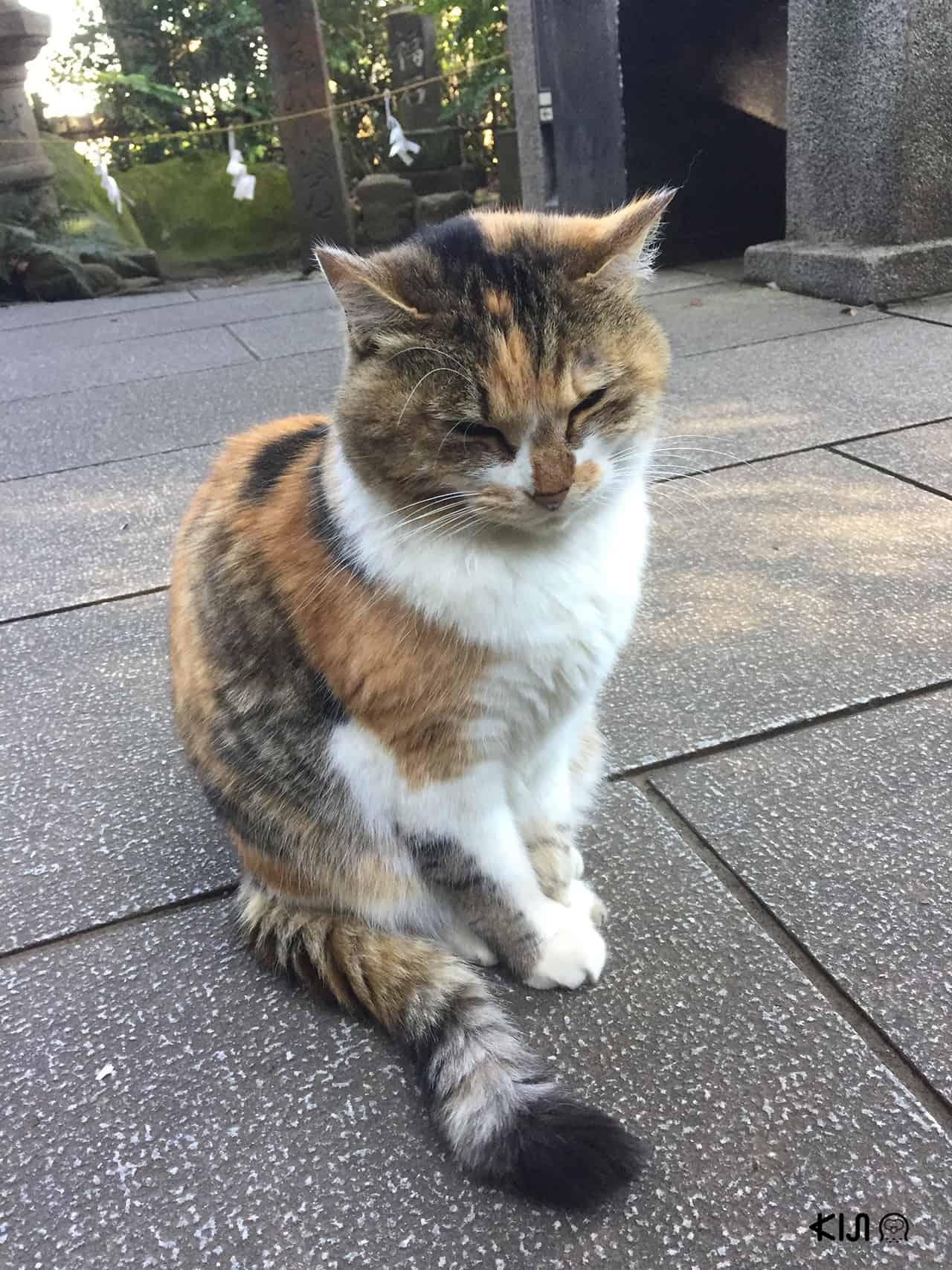 แมวจรจัดบนเกาะเอโนชิมะ