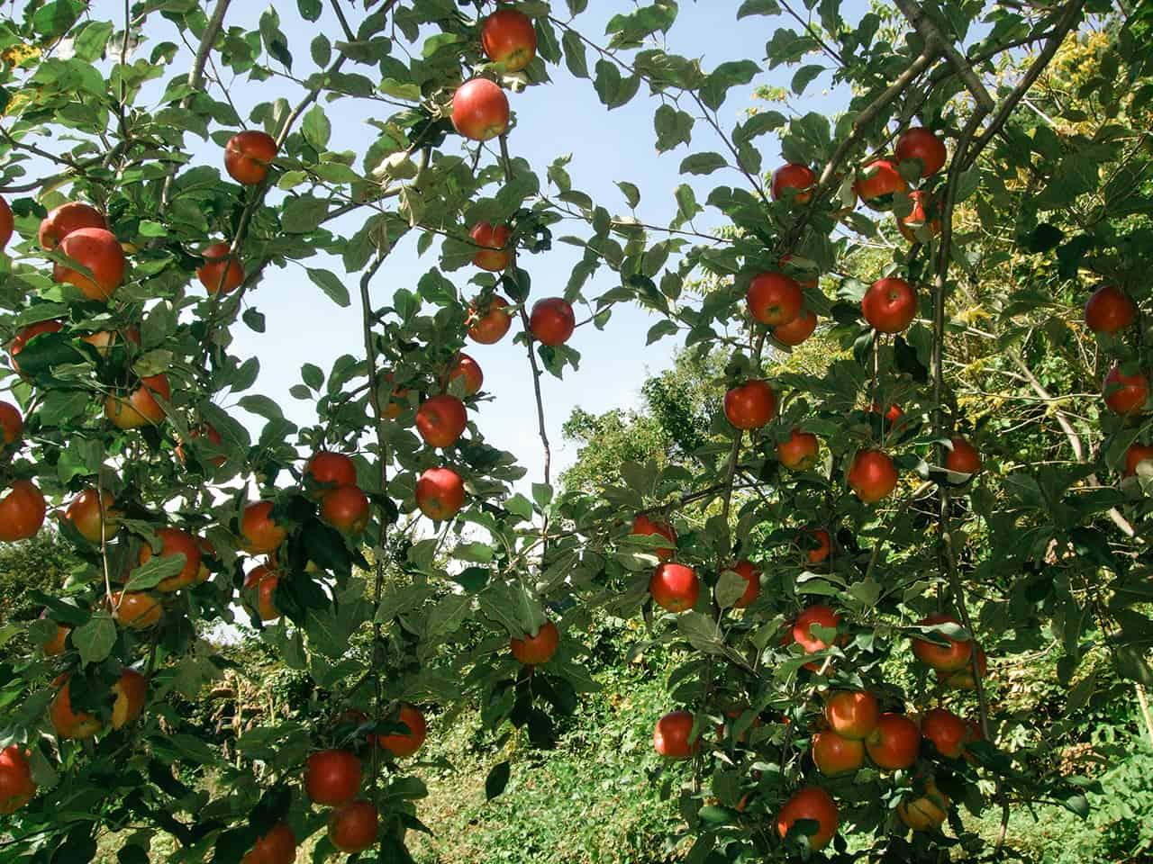 บ้านสวนแอปเปิ้ล ตั้งอยู่ตรงตีนภูเขานาคุอิดาเคะ (Mt.Nakuidake)