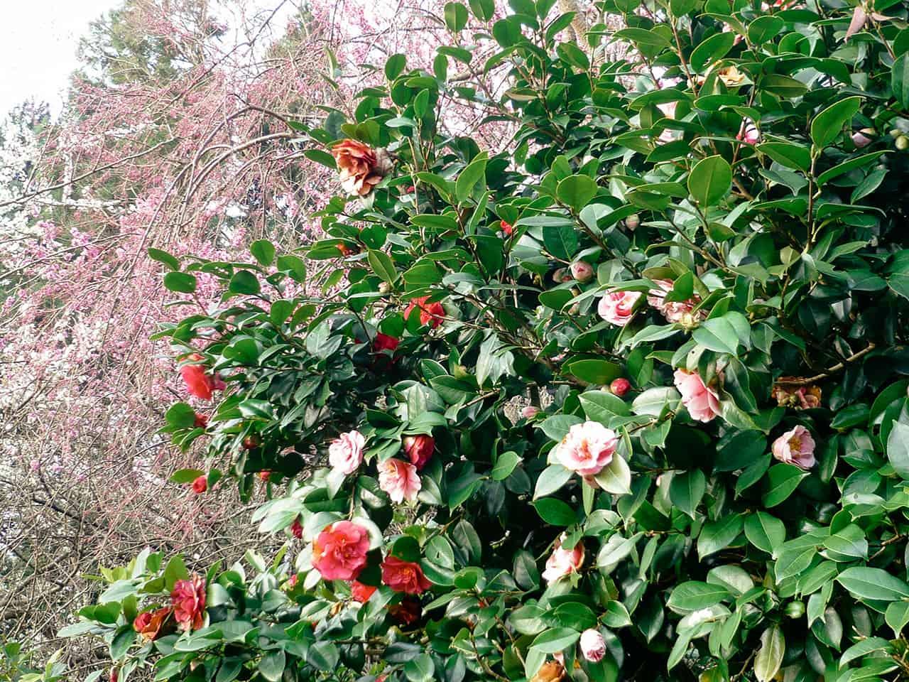 """ดอกไม้สวยๆ ที่เจ้าของฟาร์มสเตย์ Guest House """" YOSHI"""" ปลูก"""
