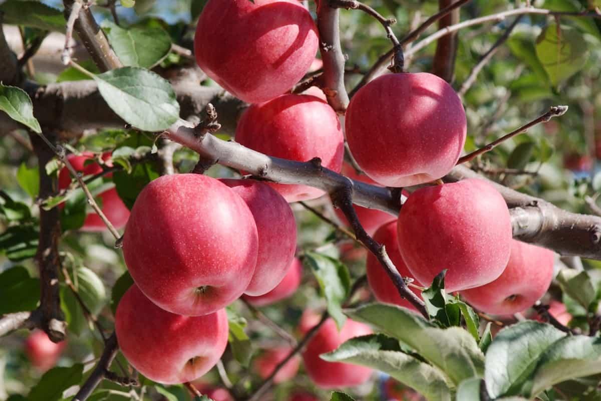 แอปเปิ้ล ผลไม้ขึ้นชื่อของจังหวัดอาโอโมริ