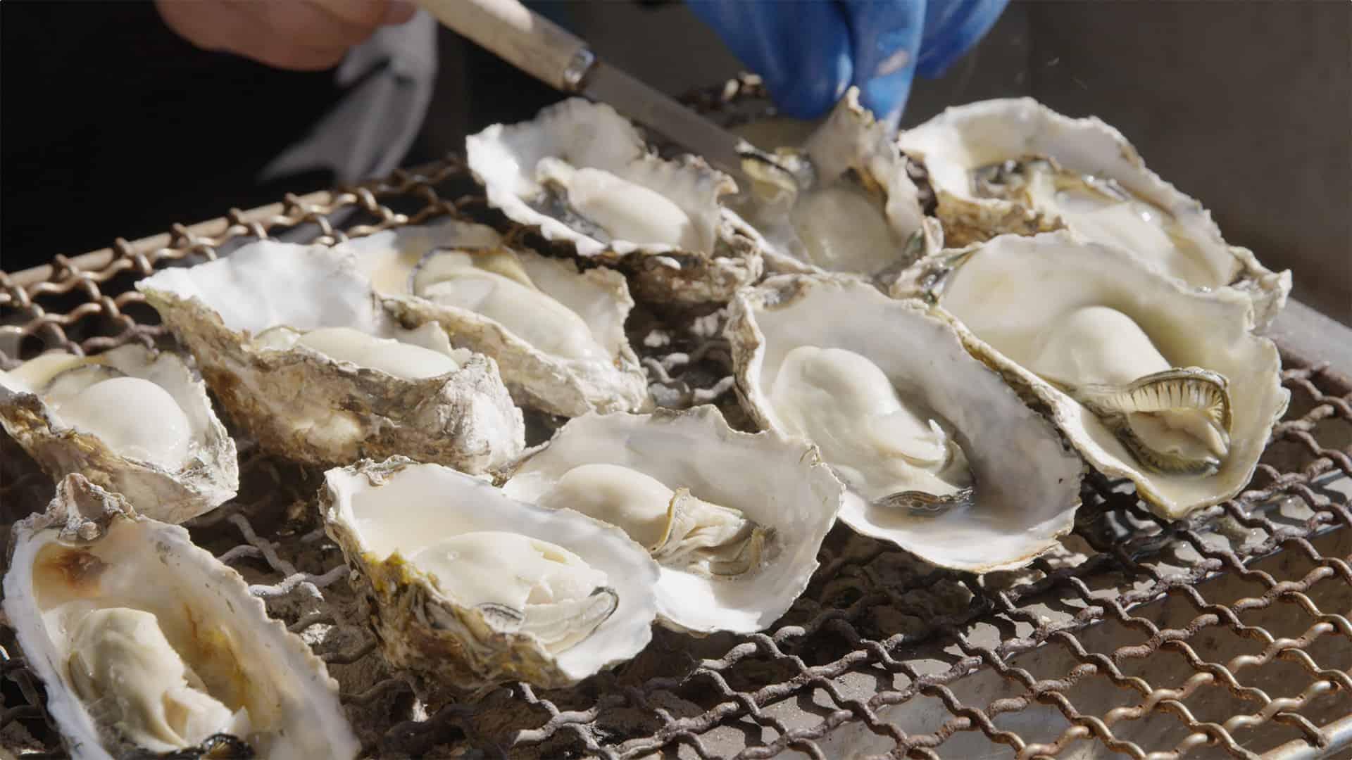 หอยนางรมสดใหม่ที่ชาวประมงจับมาจากทะเลในมัตสึชิมะ