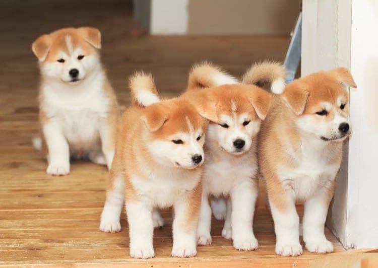 ลูกสุนัขพันธุ์อาคิตะอินุ