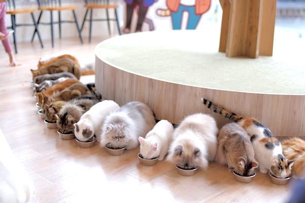 เหล่าน้องแมวกำลังกินข้าวกันที่ Mocha Cat Cafe