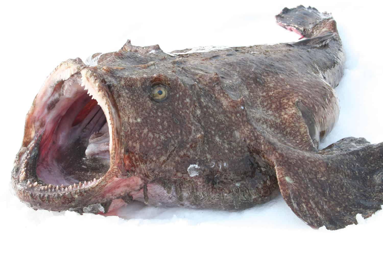 ปลาอังโค