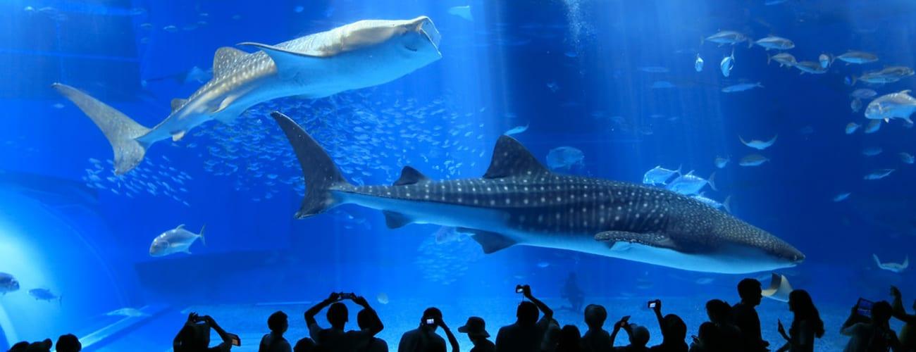 Churaumi Aquarium จุดหมายสำคัญในโอกินาว่า