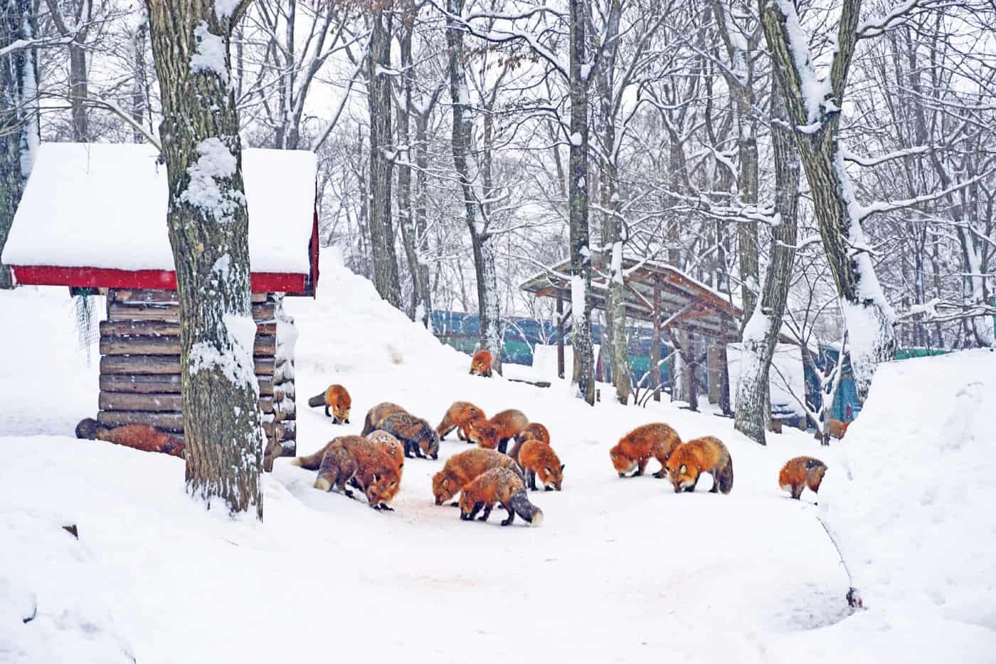 หมู่บ้านสุนัขจิ้งจอกซาโอะ (Zao Fox Village)