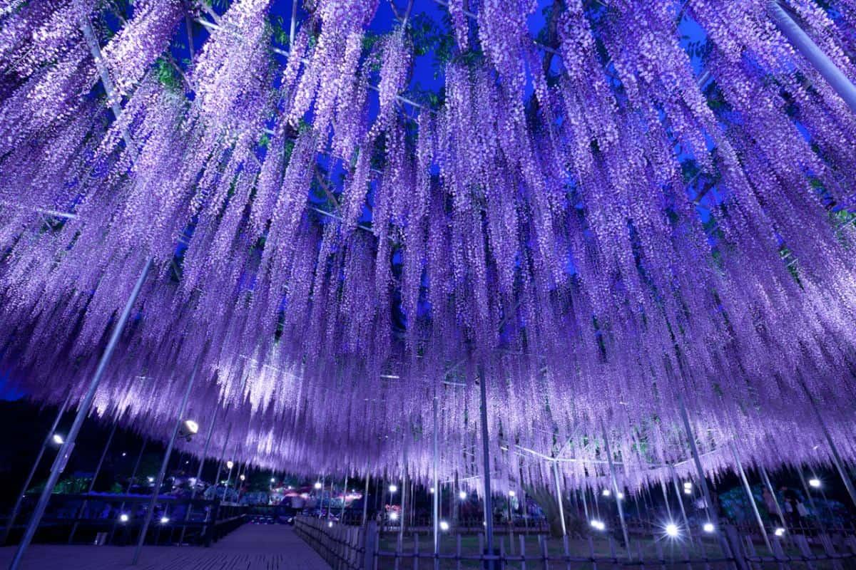สวนดอกไม้อาชิคากะ (Ashikaga Flower Park)
