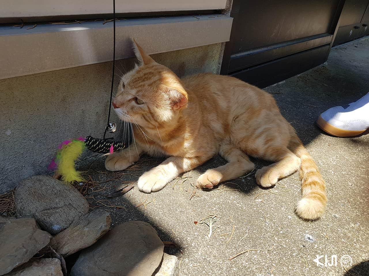ที่ท่องเที่ยวมีแมวในญี่ปุ่น : ศาลเจ้านามิโนะอุเอะ จังหวัดโอกินาว่า