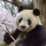 Panda_sakura