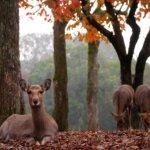 Nara_Deer