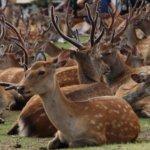 Nara_Deer2