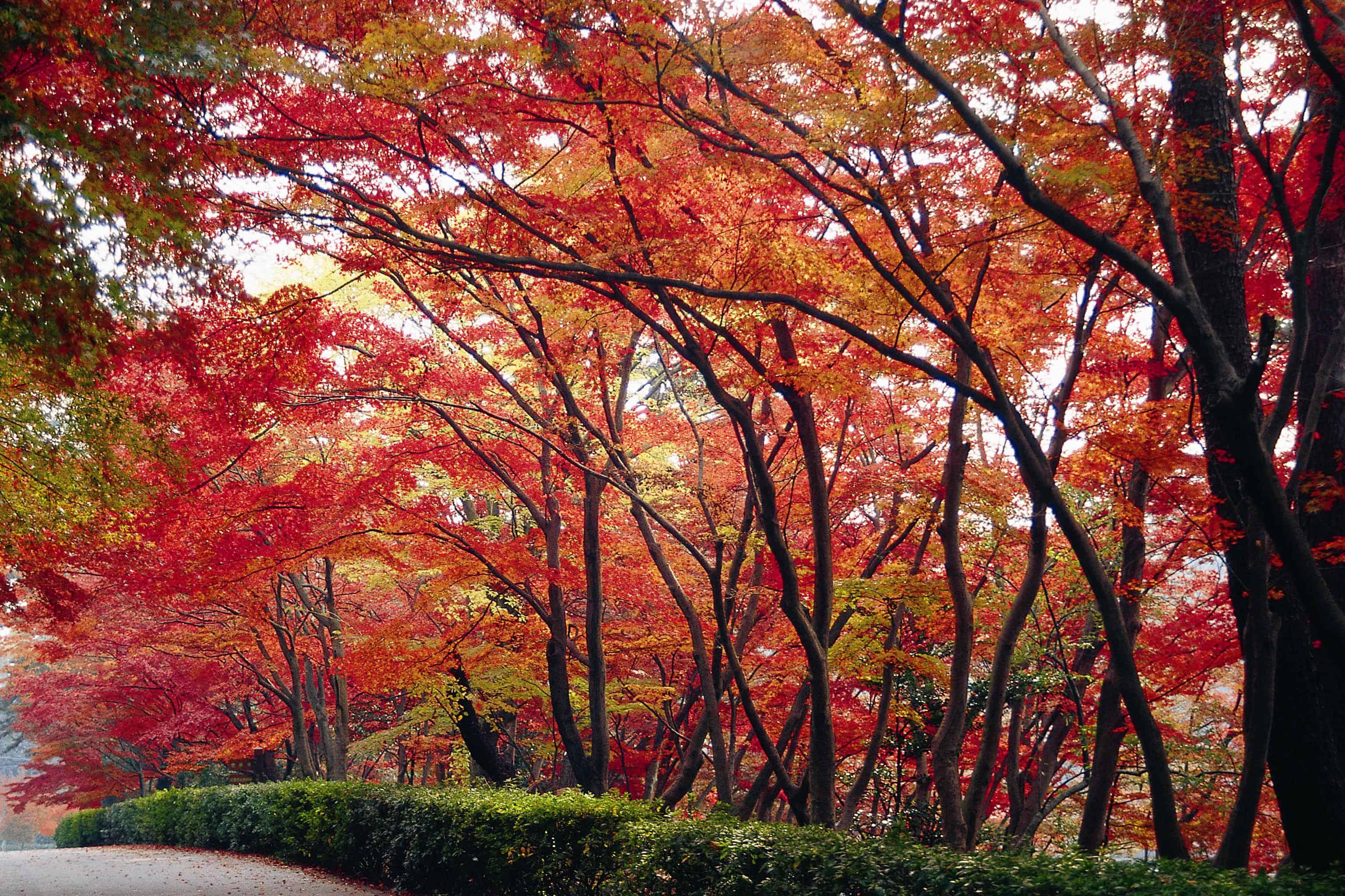 ฤดูใบไม้ร่วง ใบไม้เปลี่ยนสีที่กระจายอยู่ทั่วเมืองโอกาซากิ (Okazaki) เช่น สวนฮิกะชิ (Higashi Park)