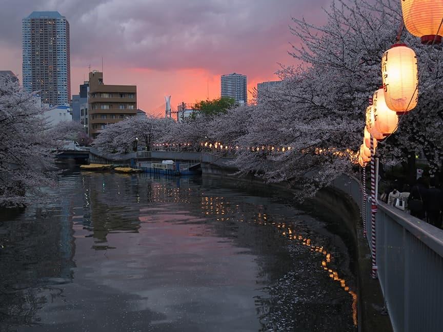 ซากุระ, ชมซากุระ, sakura, tokyo, Cherry blossom