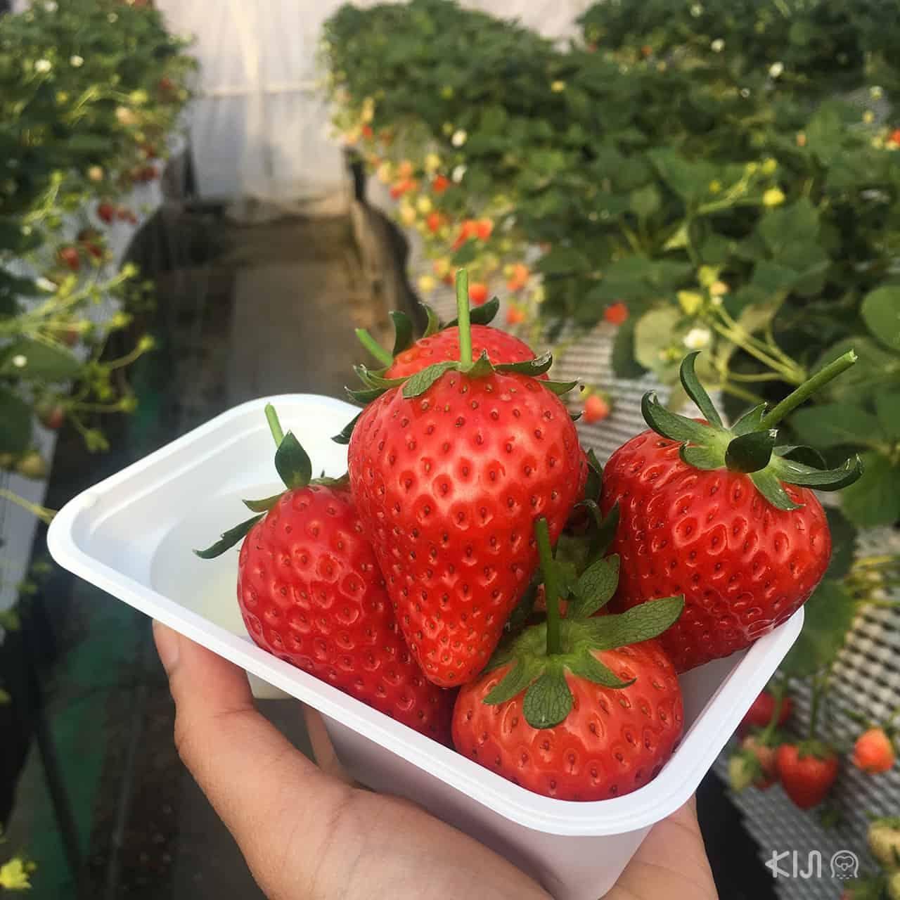 Tochigi, Strawberry, เก็บสตรอว์เบอร์รี
