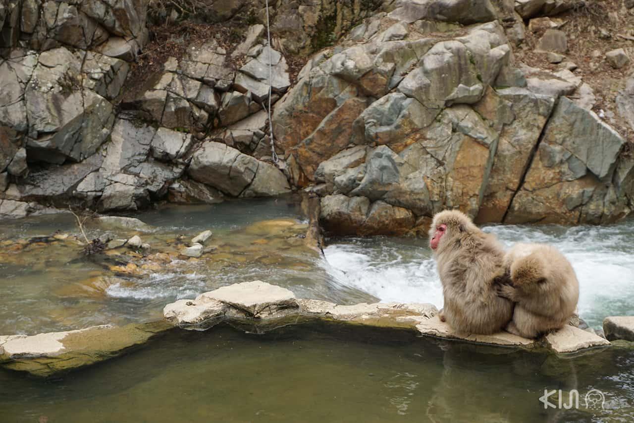 ลิงแช่ออนเซ็น ที่ยามะโนะอุจิ (Yamanouchi) อยู่ทางตะวันออกของเมืองนากาโน่ (Nagano)