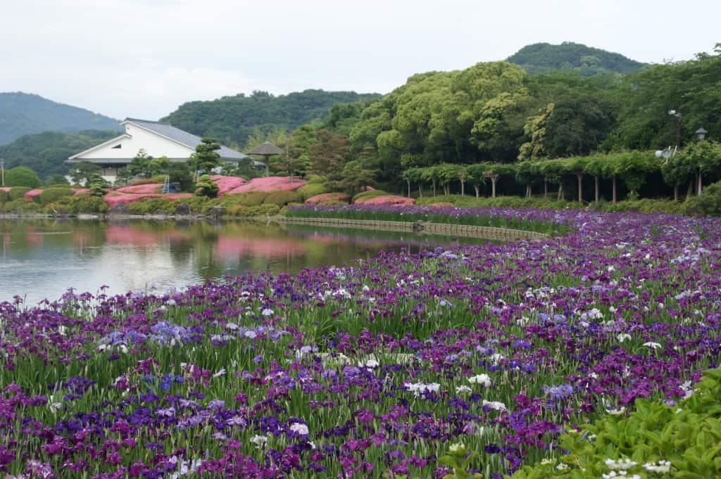 ดอกไอริส ที่สวนนันระคุเอ็น (Nanrakuen Garden) จังหวัดเอฮิเมะ (Ehime)