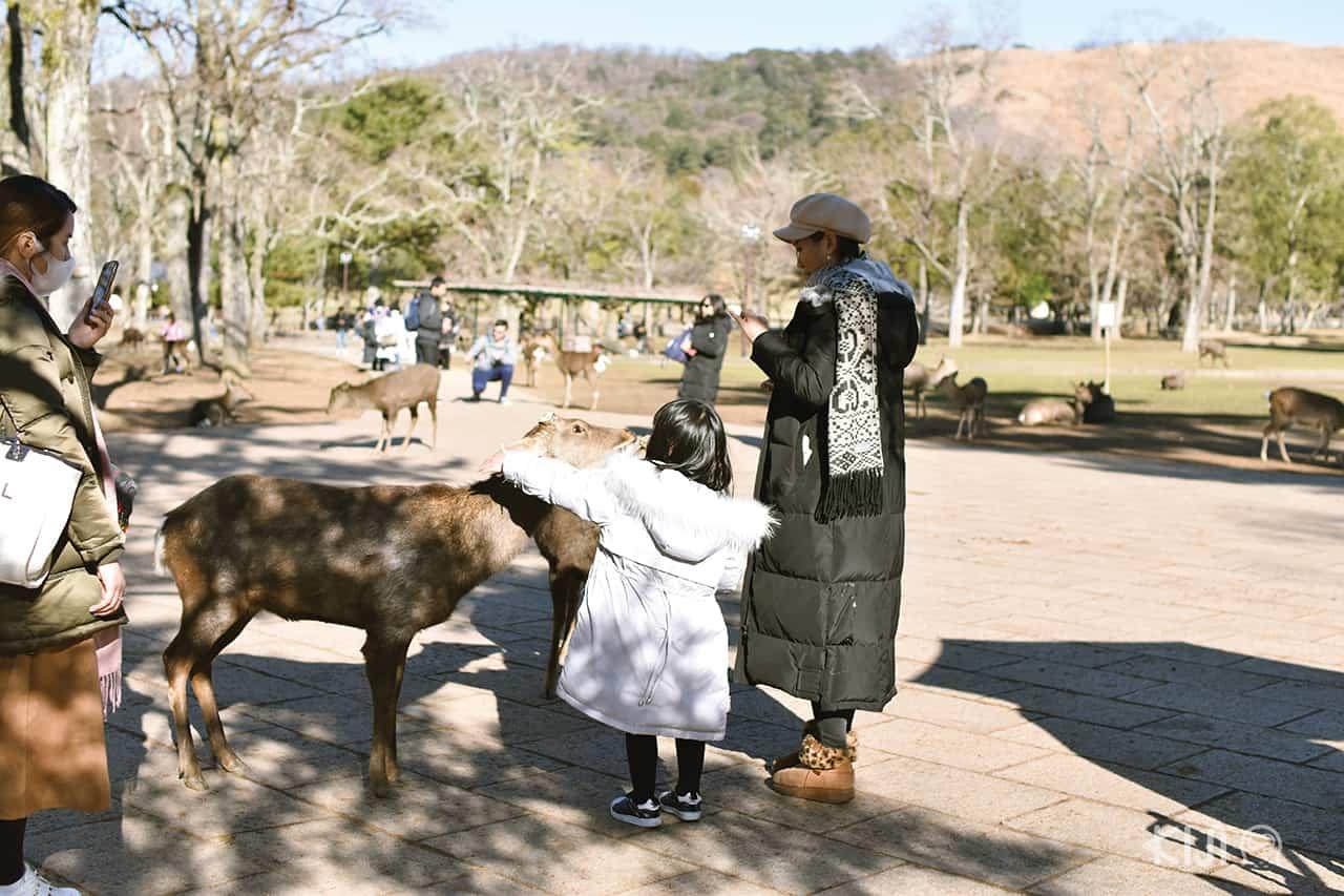 กวางที่สวนสาธารณะนารา คุ้นเคยกับมนุษย์เป็นอย่างดี