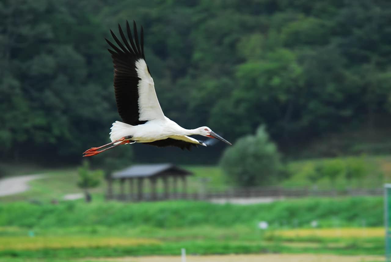 นกกระสาขาวตะวันออก (Oriental White Stork) ที่โทโยโอกะ (Toyooka)