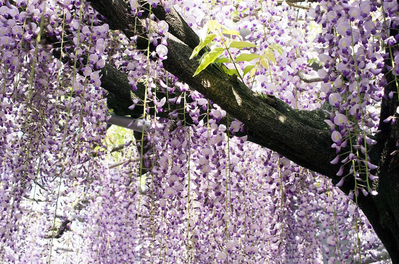 Kawachi Fuji Garden at Fukuoka