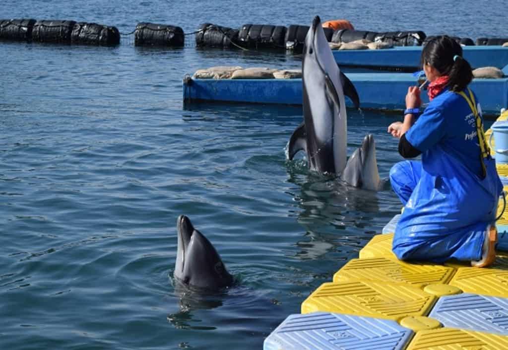 เหล่าปลาโลมากำลังทำการแสดงที่ Japan Dolphin Center ในจังหวัดคางาวะ