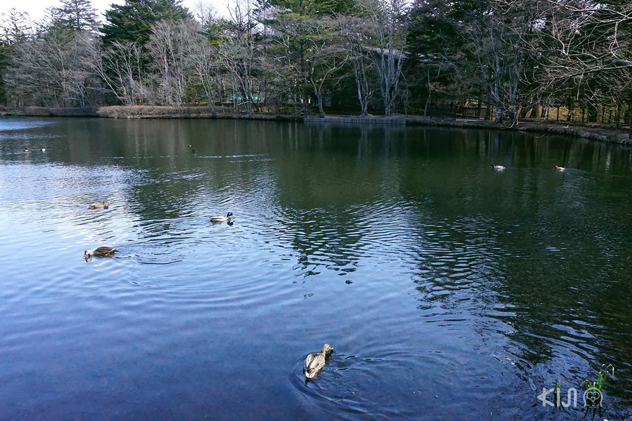 หงส์ที่ Kumoba Pond คารุอิซาวะ