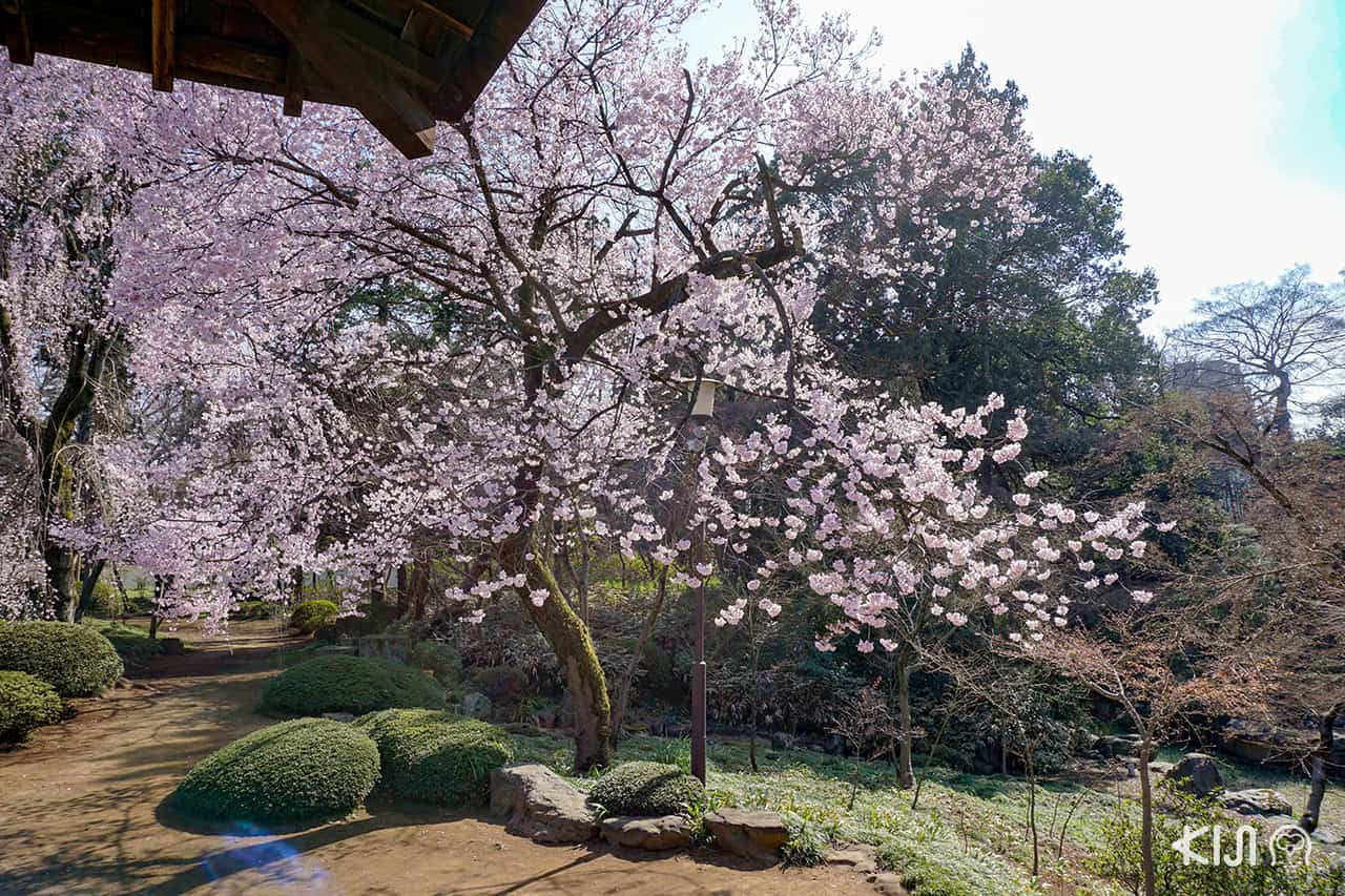 Kawagoe Kita-in Temple ในช่วงฤดูใบไม้ผลิ