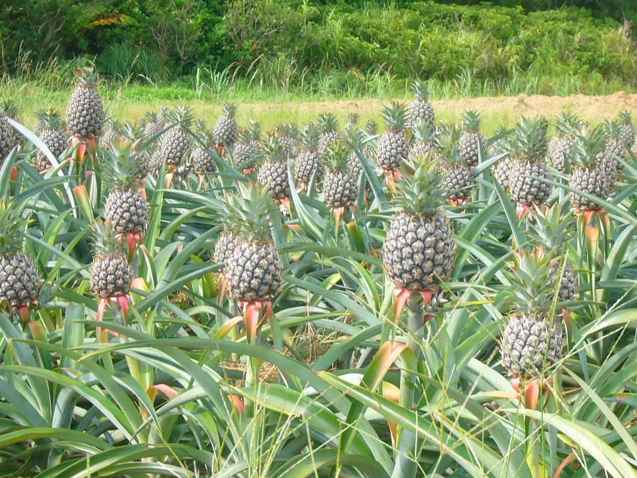 สับปะรดที่ปลูกบนเกาะโอกินาว่า