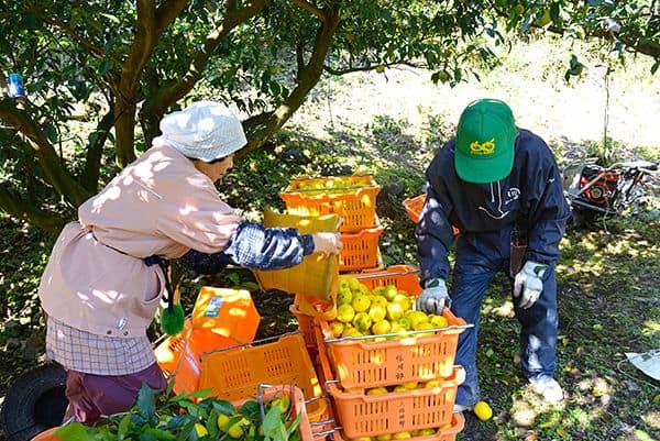 ชาวบ้านที่เมืองโคจิ กำลังเก็บส้มยูสุ