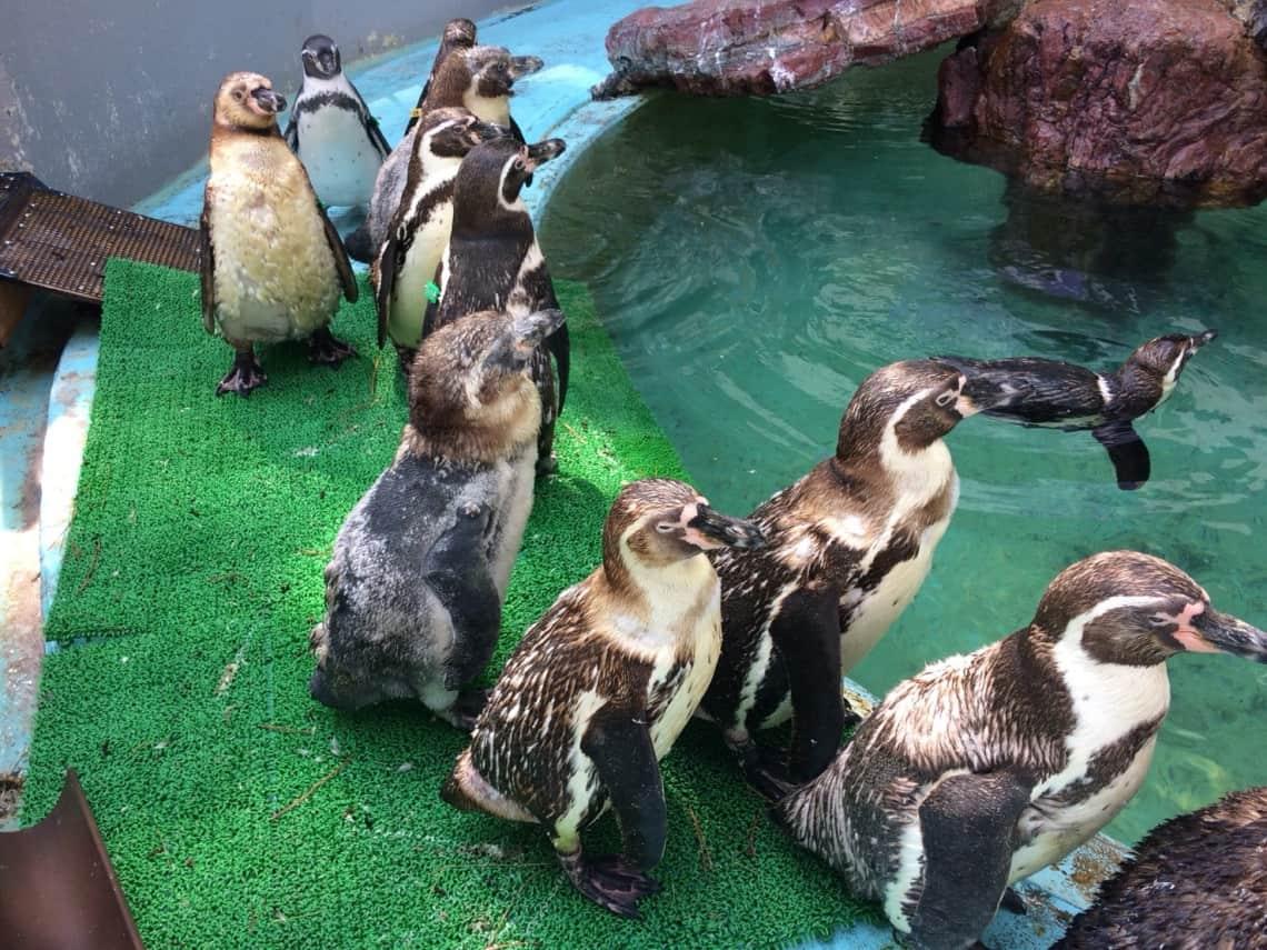 ฝูงเพนกวินที่คัตสึระฮามะ อควาเรียม (Katsurahama Aquarium)