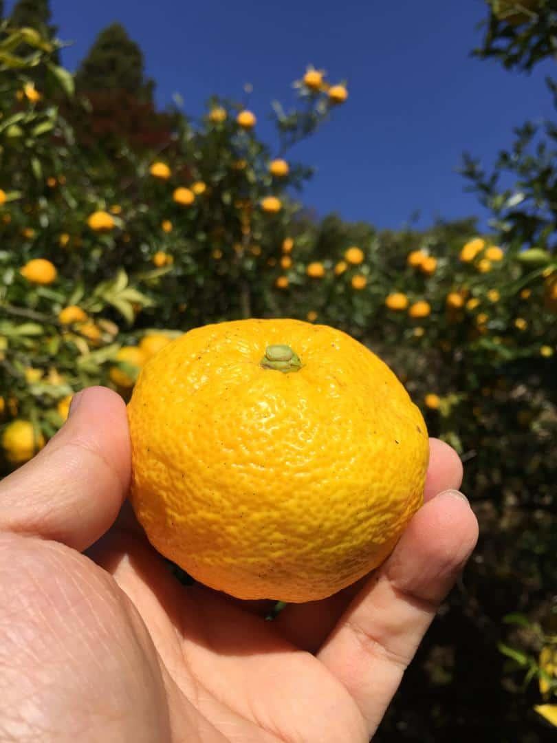 สวนส้มยุสุที่หมู่บ้านคิตากาว่า (Kitagawa Village) โคจิ (Kochi) ไซตามะ (Saitama)