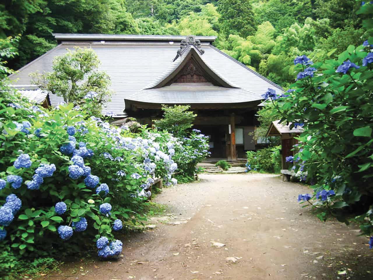 ชมดอกไฮเดรนเยียที่เมืองฮาโกเน่ (Hakone) และเมืองคามาคุระ (Kamakura)