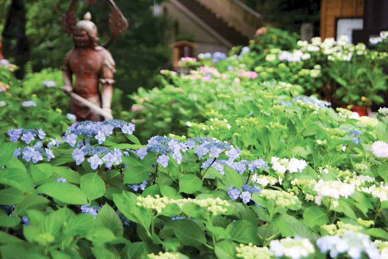 ชมดอกไฮเดรนเยียที่เมืองคามาคุระ (Kamakura)