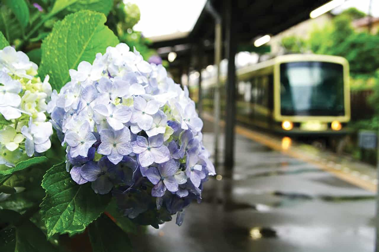 นั่งรถไฟชมดอกไฮเดรนเยีย ที่เมืองคามาคุระ Kamakura